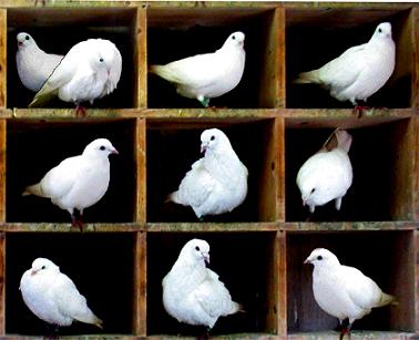 اصل لانه کبوتر