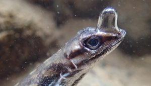 آنول آبی (Anolis Aquaticus) — زنگ تفریح [ویدیوی کوتاه علمی]