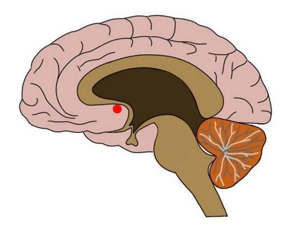 هستههای اکامبنس در مغز