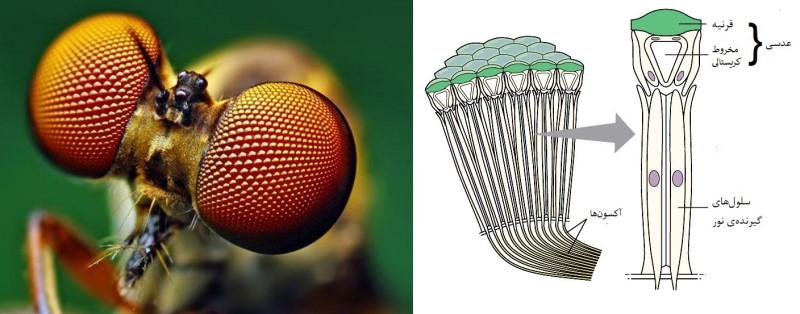 ساختار چشم مرکب