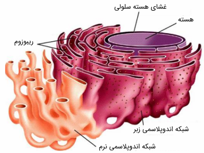 ساختار شبکه اندوپلاسمی