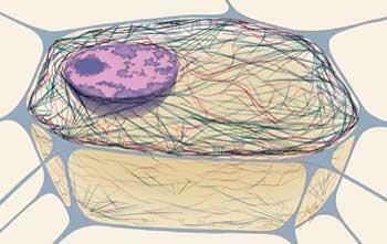 اسکلت سلولی