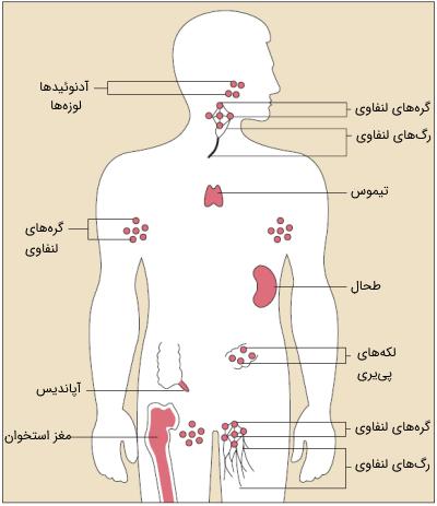 محل قرارگیری سلول های سیستم ایمنی