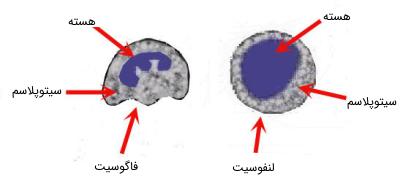 تفاوت در ظاهر لنفوسیتها و فاگوسیتها