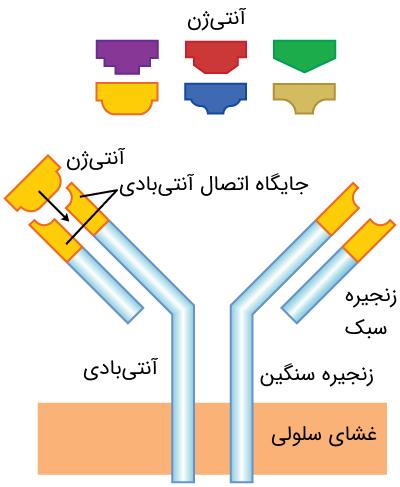 ساختار آنتیژن و آنتیبادی