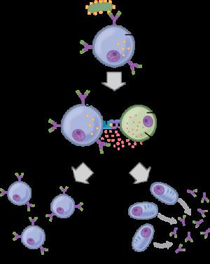 مکانیسم ایمنی هومورال