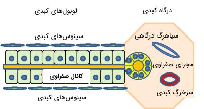 سلولهای کبدی