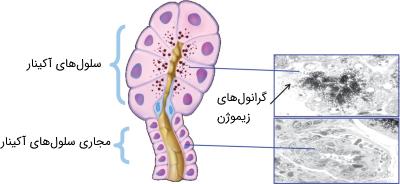 سلولهای آکینار