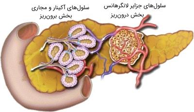 انواع سلولهای پانکراس، در بخش درونریز و برونریز