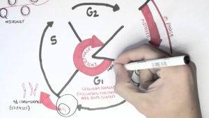 چرخه سلولی — به زبان ساده