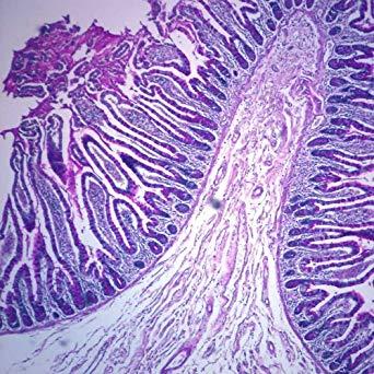 سلولهای جامی شکل
