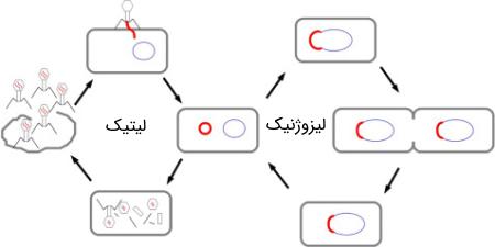 چرخههای زندگی در ویروسها