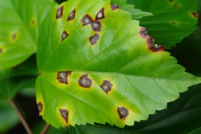 اثرات آلودگی گیاه با باکتریهای بیماریزای گیاهی