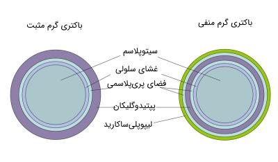 تفاوت باکتری های گرم منفی و گرم مثبت