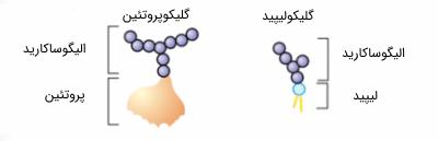 مقایسه گلیکوپروتئینها و گلیکولیپیدها