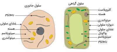 مقایسه سلول گیاهی و جانوری