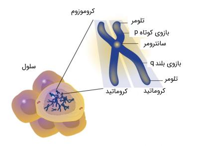 ساختمان کروموزوم