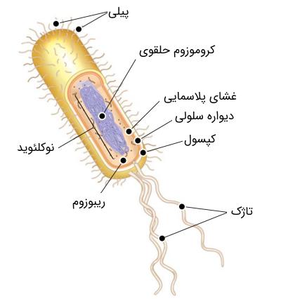 ساختمان باکتری