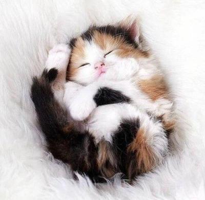 گربه کالیکو