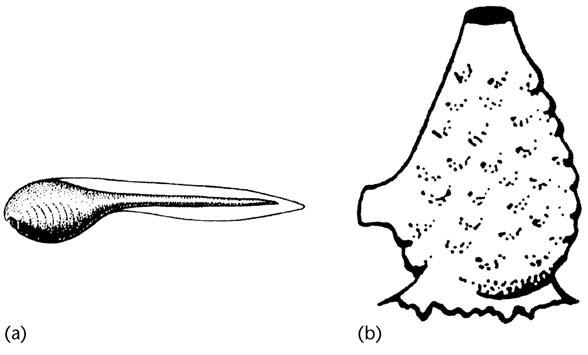هتروکرونی یا ناهمزمانی تکوینی-تکاملی
