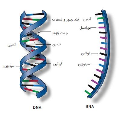 مقایسه DNA و RNA