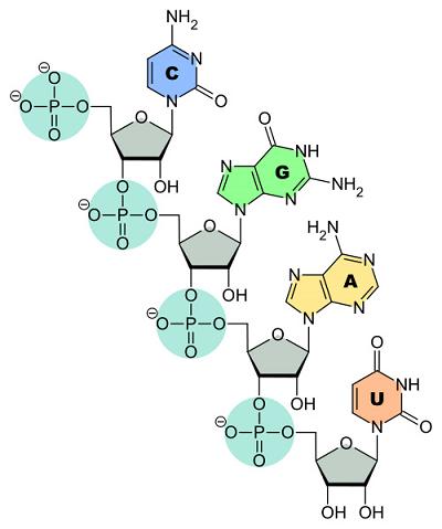 ساختار rna