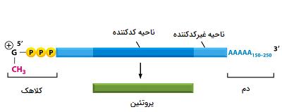 ساختمان mRNA