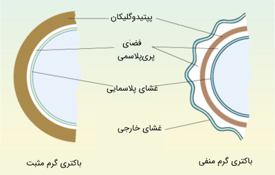 دیواره سلولی در باکتری