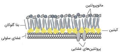 دیواره سلولی در قارچ ها