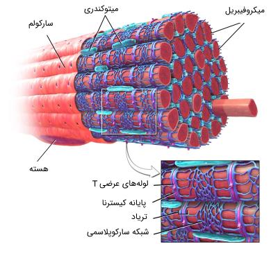 ساختار میکروفیبریل ماهیچه