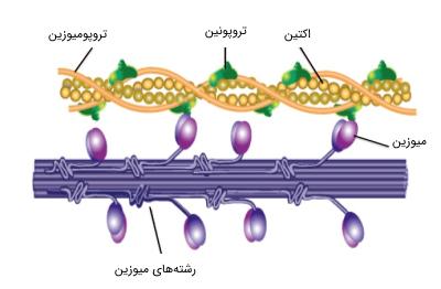 پروتئین های ماهیچه