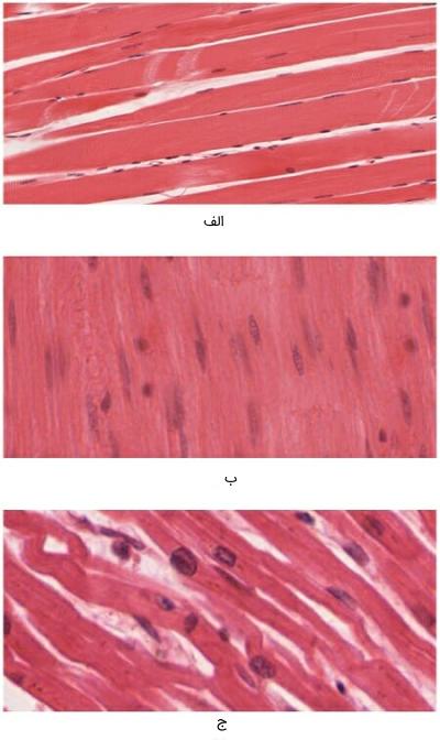 تصویر میکروسکوپی انواع بافت های ماهیچه ای