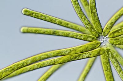 جلبک زرد سبز