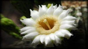 گل های ساگوارو — ویدیوی علمی