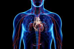 قلب و سیستم گردش خون — هر آنچه باید بدانید