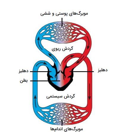 سیستم گردش خون مضاعف