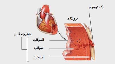 لایه های ماهیچه ای قلب