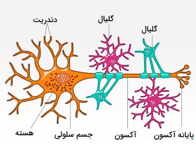 سلول گلیال