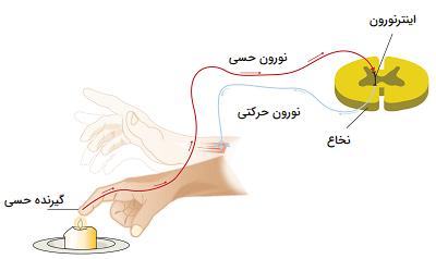 مسیر واکنش لمس جسم داغ
