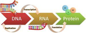 پروتئین سازی و ترجمه چیست؟ — به زبان ساده
