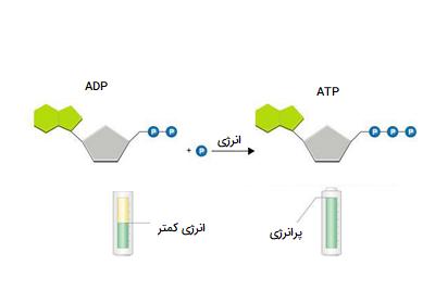 چرخه ADP - ATP