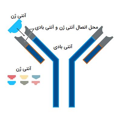 اتصال آنتی ژن به آنتی بادی