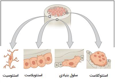 اشکال سلول های استخوانی