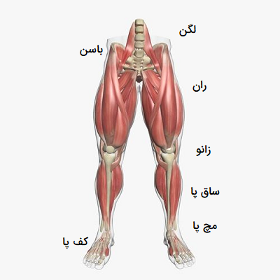 آناتومی پا در انسان