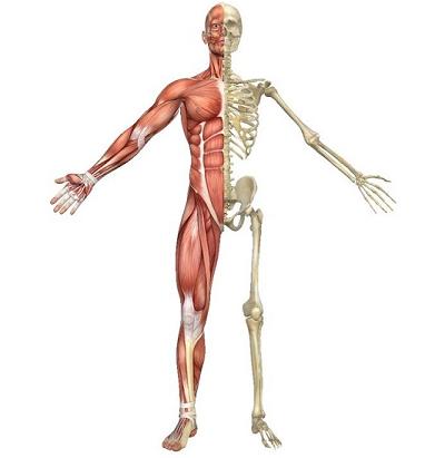 سیستم ماهیچه ای و اسکلتی بدن
