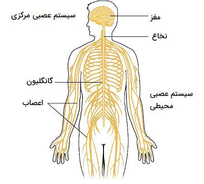 سیستم عصبی