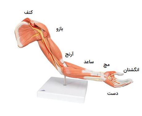 آناتومی دست انسان