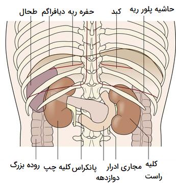 آناتومی کلیه