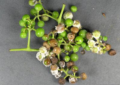 عامل سفیدک سطحی انگور