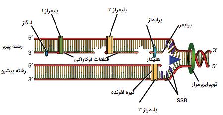 همانندسازی DNA